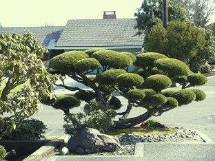 japanese_pruning_tree11bonsai_fs
